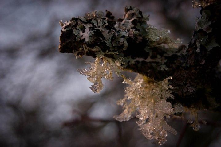 Lichen The Cold