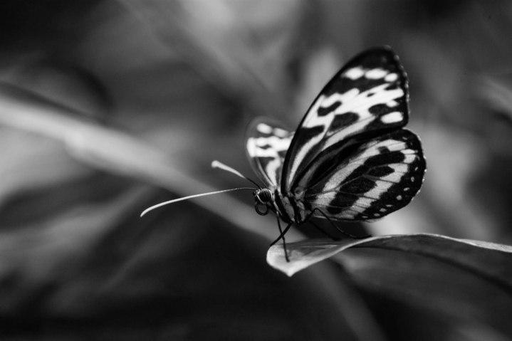 Tigar Wings - B&W