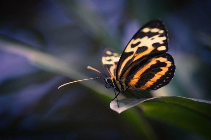 Tigar Wings - Color Enhanced