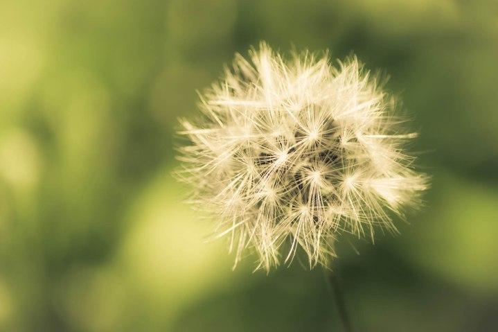 Dandelion Warmth