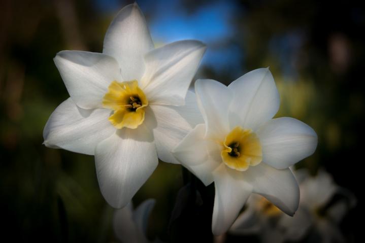Daffodil Dreamin